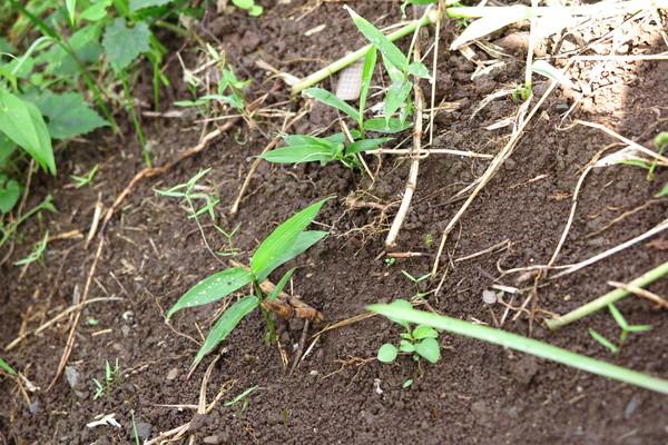 庭に植えてはいけない植物