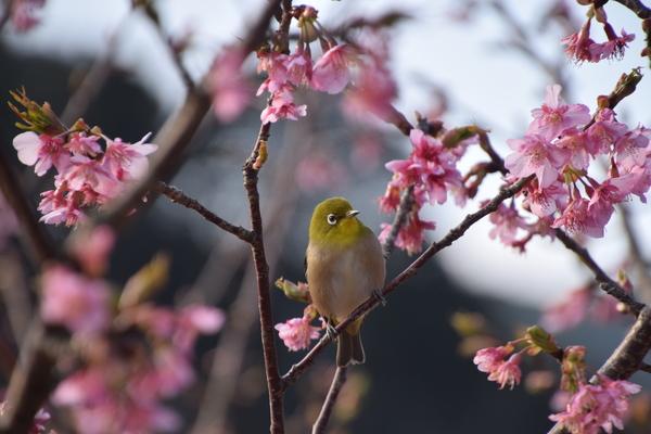 桜の木は庭植えに適さないのか…?